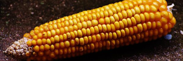 corn-1709194_1920